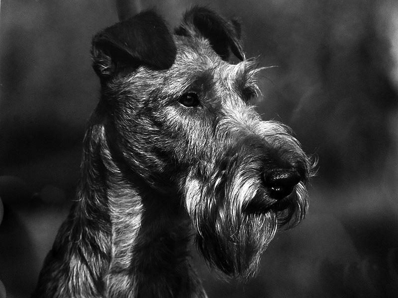 Typvoller irish Terrier